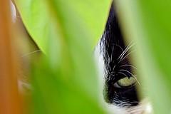 Cat eye #nikond5300 #nikon #cateye #cat #green (emresavas) Tags: nikond5300 nikon cateye cat green
