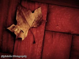 As folhas secas vão caindo...