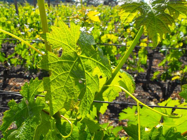 Grapevines I