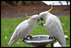 Cockatoo-sharing-food