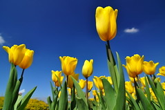 Tulips (Vincent_Ting) Tags:  tulip    formosa  nikon nature water sky