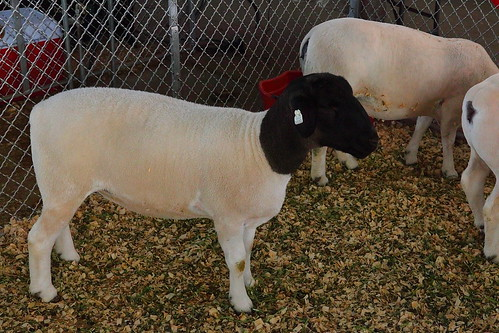the dorper sheep   developed