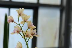 (Fransois) Tags: winter white orchids montréal haiku hiver softness greenhouse orchidées douceur blanches serre