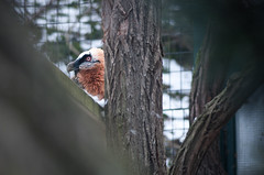geiers eye (mav_at) Tags: schnbrunn park animals zoo tiere tierpark zaun tiergarten hietzing gehege flickrtreffen ftwien ftwien013011