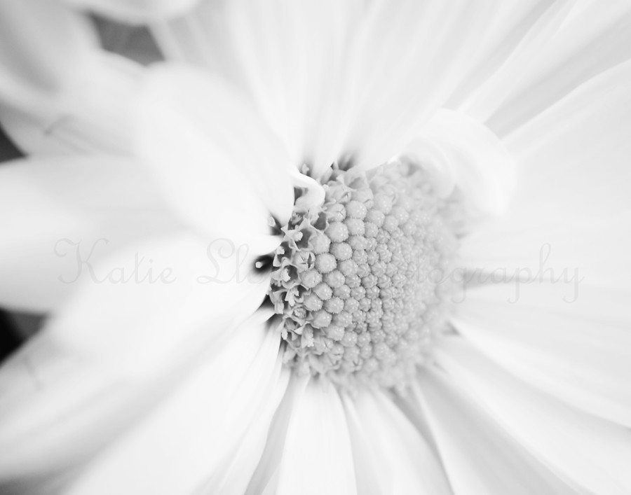 Daisy-black-and-white---11x