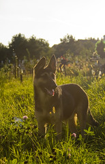 dog with a funny ear (rxndr) Tags: summer dog sunlight germanshepherd canonefs1855mmf3556