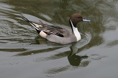 Special Duck (ivlys) Tags: water animal germany zoo duck heidelberg ente northernpintail anasacuta ivlys spiesente