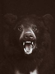 (Gebhart de Koekkoek) Tags: bear wild animal flash