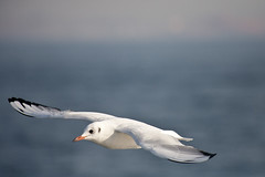 Tip to Tip_7095 (hkoons) Tags: sea sky birds turkey coast fly flying asia seagull gulls air flight aegean turks mesopotamia seabird seabirds anatolia marmara constantinople asiaminor seaofmarmara