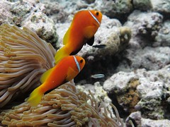 MALDIVES ANEMONEFISH (Dave polonowski) Tags: ocean blue sea summer fish hot cold water coral canon shark ray underwater turtle indian tropical reef maldives angelfish eels g11 villamendhoo vilamendhoo houseing canong11 underwaterhouseing