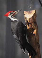 P2062180 Male Pileated Woodpecker - Western NC (Isabel Cutler) Tags: malepileatedwoodpecker panasonic45200micro43lens