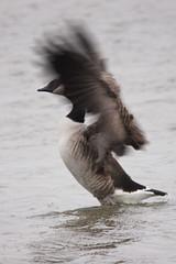 Canada Goose (jumpers123) Tags: lake canada bird canon wings movement sigma goose weymouth flap wildfowl 50d radipole 150500 mygearandme