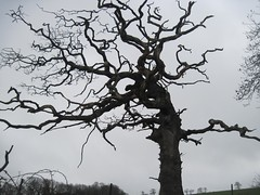The giant guardian tree (joysaphine) Tags: old trees winter cold nature water wales river geotagged ancient flickr joy january fast fresh estuary clean clear wise trunks straight twisted pembrokeshire tidal pouring runing splashing rushing tidalriver gushing knarled knotted 2011 lawrenny mycountry theportal afoncleddau cleddauestuary twistedtime rivercleddau bbcwalesnature joysaphine winter20102011 aswirlinspace canwestepthrough beachstackpoleandlawrenny