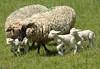 sheep042LK