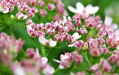 Coriander buds (Kumaravel) Tags: macro closeup canon cropped coriander kumaravel corianderflower 95is canonixus95is canondigitalixus95is shensfarm
