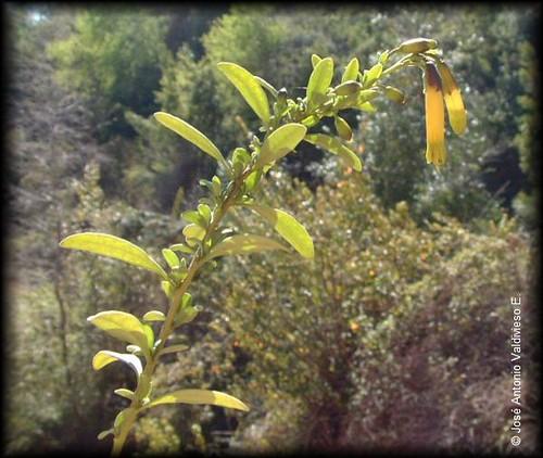 H�bito de Vestia foetida, con flores