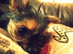 Colomba (Giovanni A. Prez Alvarez) Tags: dog puppy yorkshire daughter beb cachorro giovanniprezterrier