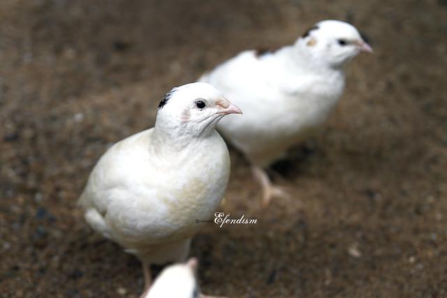 Anak burung puyuh