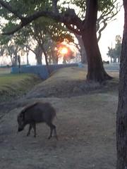 wild boar (travellersai) Tags: kerala treehouse wayanad teaestate wildboar bandipur chital vythri banasuradam soojiparafalls streamvalleyresorts