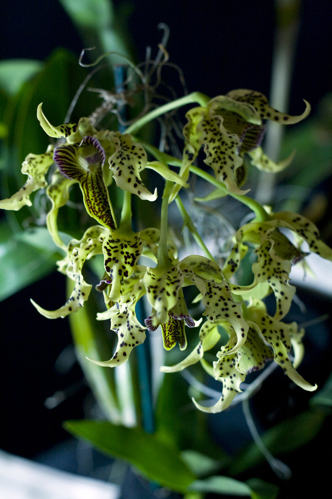 Very alien looking, green orchids