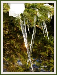 Sun Flare in Icicle (clickclique) Tags: trees winter sun yard flare spruce icicles sunflare blueribbonphotography