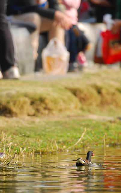 20110220 紅冠水雞 - 家族 -雛鳥@高雄美術館 186