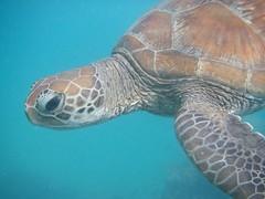 Evil Eye (Samuel Harmon) Tags: ocean animal underwater turtle australia portdouglas seaturtle greatbarrierreef