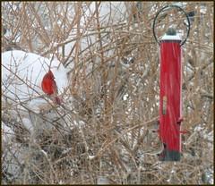 Cardinal waiting (edenseekr) Tags: winter cardinal birdfeeder nystate