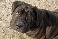 Oliver (AppleBlossom12) Tags: winter dog pet cold cute beautiful animal puppy fun outdoors furry pretty sweet adorable canine pup cockerspaniel sharpei