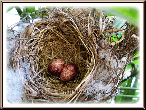 A clutch of 2 eggs recently laid by Pycnonotus goiavier (Yellow-vented Bulbul)