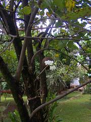 Dendrobium phalaenopsis (barbatum) Tags: orchid dendrobium orquídea dendrobiumphalaenopsis