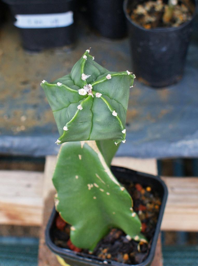 Astrophytum Cultivars  5490601496_b71790099e_b