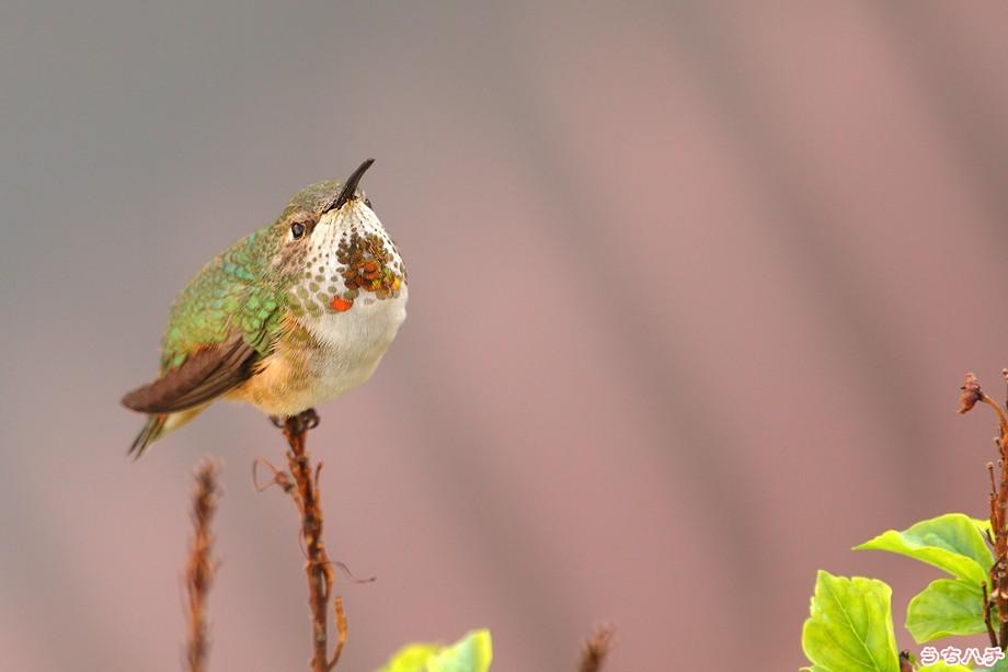 Allen's Hummingbird 030211-2