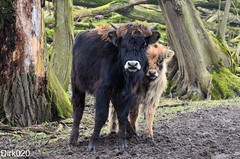 Rawhide with the Heck cattle in the Oostvaardersplassen (set) (wandelgraaf(mostly off)) Tags: flevoland rawhide oostvaardersplassen heckrunderen heckcattle