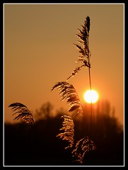 You held my heart in your hands........ (Levels Nature) Tags: uk sunset england sun nature backlight reeds stem somerset stems backlit somerst levels chedzoy saariysqualitypictures
