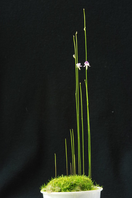 Utricularia blanchetii 'Pink' Plant