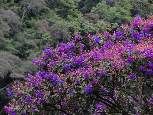 Início da floração das quaresmeiras