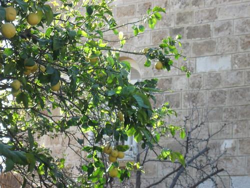 Lemon Tree in Byblos