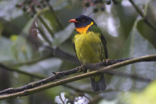 Orange-breasted Fruiteater, male (Pipreola jucunda)
