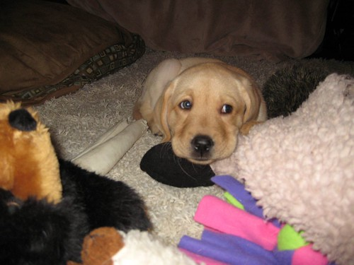 Babe - yellow Labrador Retriever puppy
