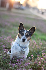 Amongst Her Kind (BriSaEr) Tags: flowers sunset outside brittany terrier jackrussell ratterrier sooc