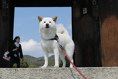 White Dog Ninnaji Temple