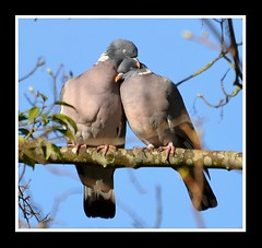 True love.... (Levels Nature) Tags: uk england cute bird love nature beautiful beauty true birds snuggle model sweet pair somerset romance together cuddle romantic lovebirds partner partners woodpigeon woodpigeons backwell specanimal abigfave specanimalphotooftheday carlsbirdclub backwellnaturereserve birdperfect mygearandme mygearandmepremium hennysanimals