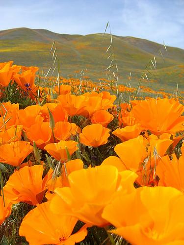 Orange poppies against California hillside