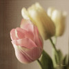 Tulips ... (DigiDi) Tags: texture tulips pastel languageofflowers digidi selectbestexcellence sbfmasterpiece