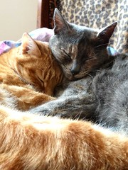 Kajou et Ff (mooonalila) Tags: two love cat grey gris ginger chat nap happiness together amour deux rest ensemble bonheur roux tenderness tendresse sieste