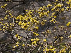 Cornus officinalis, Japanese Cornel Dogwood 58-325-A (Tie Guy II) Tags: flower tree philadelphia yellow march spring arboretum dogwood upenn morrisarboretum cornus cornaceae cornusofficinalis