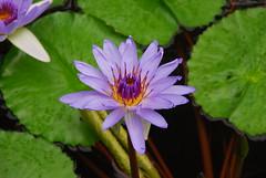 Hawaiian Lily - 6 (Roni Bear) Tags: flower digital hawaii nikon lily nikond80 nikon18135mmf3556g hawaiianlily ronibear