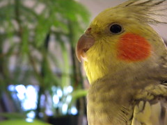 Pretty Bird (lucidcats) Tags: pet bird yellow vancouver washington pretty state wa thebestyellow
