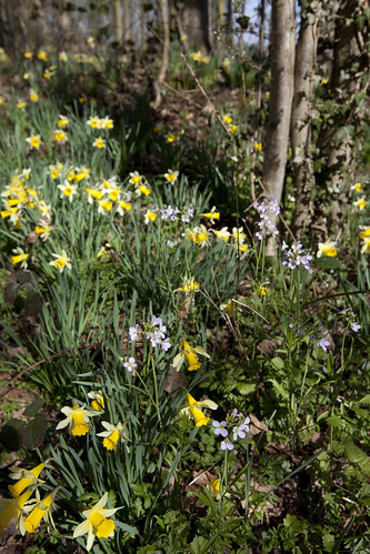 Wild Daffodils (Narcissus pseudonarcissus) and Cuckoo Flowers (Cardamine pratensis)